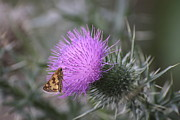 Bull Thistle Posters - Butterfly on Bull Thistle Poster by Jim Vansant