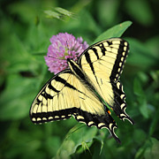 Yellow Insect Posters - Butterfly on Clover Poster by Brian Mollenkopf