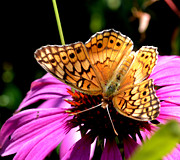 Butterfly On Coneflower-05 Print by Eva Thomas