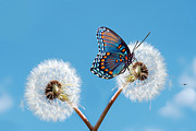 Horizontal Prints - Butterfly On Dandelion Print by Royalty Free