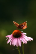 B Rossitto - Butterfly On Echinacea