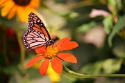 Butterfly On Flower 1 Print by Artie Wallace