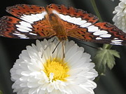 Arindam Raha - Butterfly on Flower