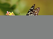 Pakistan Prints - Butterfly On Flower Print by Mcb Bank Bhalwal