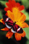 Blooms  Butterflies Photo Posters - Butterfly On Flower Poster by Natural Selection Ralph Curtin