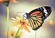 Butterfly Prints - Butterfly On Flower Print by Sam Gellman Photography