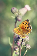 Poland Prints - Butterfly On Flowers Print by Kinga Wroblewska photography