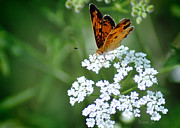 Butterfly On Lacy Wildflower Print by Nava Jo Thompson