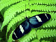 Costa Rica Prints - Butterfly On Leaf. Print by Kryssia Campos