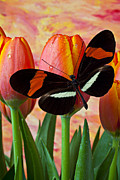 Floral Framed Prints - Butterfly On Orange Tulip Framed Print by Garry Gay