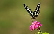 Ramabhadran Thirupattur - Butterfly On Pink Flower