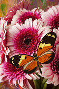 Pink Chrysanthemums Framed Prints - Butterfly on pink mum Framed Print by Garry Gay