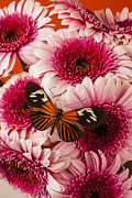 Pink Chrysanthemums Framed Prints - Butterfly on pink mums Framed Print by Garry Gay