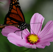 Yellow Photographs Posters - Butterfly on Purple Flower Poster by Dennis Clark