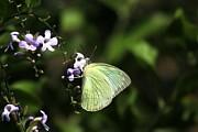 Ramabhadran Thirupattur - Butterfly on Purple Flower