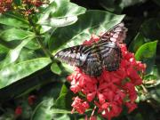 Butterfly Prints Artwork Photo Acrylic Prints - Butterfly on Red Acrylic Print by Ann Willmore