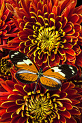Red Bouquet Prints - Butterfly on spider mums Print by Garry Gay