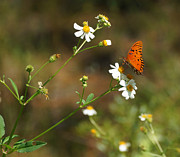 Florida State Prints - Butterfly on Widflower Print by Sandy Keeton