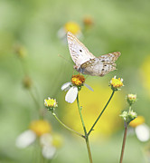 Naples Prints - Butterfly On Wildflower Print by Kim Hojnacki