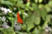 Barry Jones - Butterfly on Wildflowers