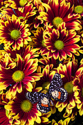 Red Photos - Butterfly on yellow red daises  by Garry Gay