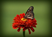 Butterfly On Flower Posters - Butterfly on Zinnia Poster by Sandy Keeton