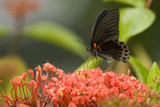 Danum Valley Conservation Area Prints - Butterfly Papilio Memnon Feeding Print by Tim Laman