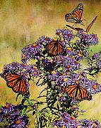 Daisies Drawings - Butterfly Party by Diane E Berry