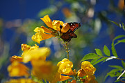 Bloosom Prints - Butterfly Pollinating Flowers  Print by Donna Van Vlack
