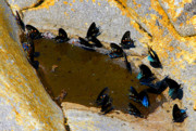 Wild Wings Metal Prints - Butterfly Pool Metal Print by David Lee Thompson