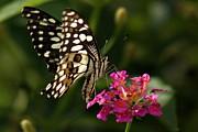 Ramabhadran Thirupattur - Butterfly