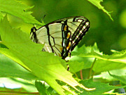 Tranquil Mountaintop Art - Butterfly Rest In The Leaves by Debra     Vatalaro