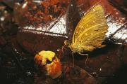 Tropical Photographs Photos - Butterfly Sips Juice From A Fig by Tim Laman