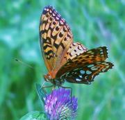 Checkerspot Posters - Butterfly Stare Poster by Emily Michaud