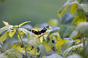 Framed Prints Photos - Butterfly by Steven Brennan