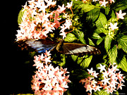 Ebsq Photo Prints - Butterfly Still Life Print by Kimmary I MacLean