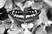 Metallic Photos - Butterfly Study #0061 by Floyd Menezes