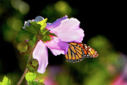 Eating Entomology Photo Posters - Butterfly Sunset Poster by Betty LaRue