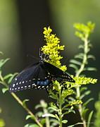 Tannis  Baldwin - Butterfly