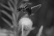 Tannis  Baldwin - Butterfly Thistle 2  BW