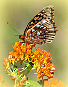 Marty Koch Posters - Butterfly Weed 1 Poster by Marty Koch