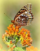 Marty Koch - Butterfly Weed 1