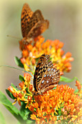 Marty Koch Posters - Butterfly Weed 2 Poster by Marty Koch