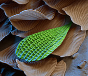 Papilionidae Prints - Butterfly Wing Scale Sem Print by Eye of Science