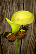 Calla Lilies Plants Framed Prints - Butterfly with calla lily Framed Print by Garry Gay