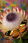 Proteas Prints - Butterfly with large protea Print by Garry Gay