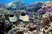 Reef Fish Posters - Butterflyfish And Purple Anthias Fish Poster by Georgette Douwma
