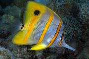 Animal Shelter Posters - Butterflyfish Poster by Dave Fleetham - Printscapes