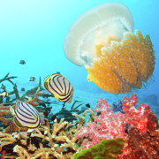 Snorkeling Photos - Butterflyfishes and jellyfish by MotHaiBaPhoto Prints
