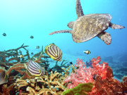 Animals Tapestries Textiles Posters - Butterflyfishes and turtle Poster by MotHaiBaPhoto Prints